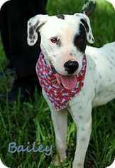 Bailey - Pointer / Dalmatian / Mixed (long coat) Dog For Adoption