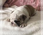 Small #4 English Bulldog