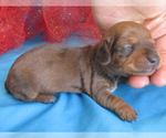 Small #6 Dachshund