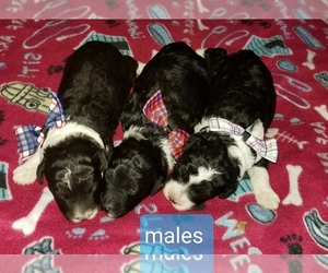 Aussiedoodle Puppy for sale in BROOKSVILLE, FL, USA