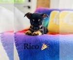 Small Photo #5 Chorkie Puppy For Sale in COOKEVILLE, TN, USA