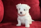 Maltese Puppy For Sale in KERMIT, West Virginia,