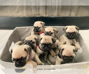 Pug Puppy for Sale in YUMA, Arizona USA