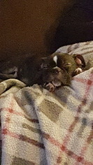 Boston Terrier Puppy For Sale in MASSILLON, OH