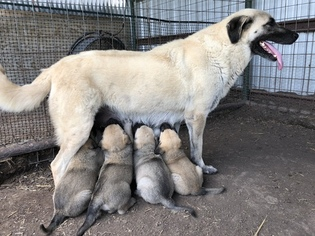 Father of the Anatolian Shepherd puppies born on 01/07/2019