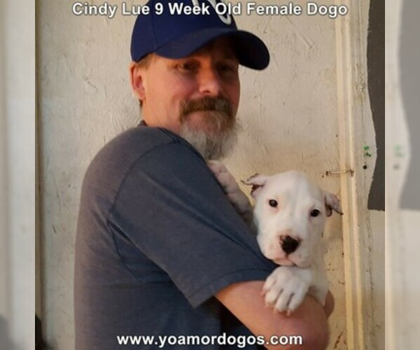 Medium Photo #79 Dogo Argentino Puppy For Sale in PINEVILLE, MO, USA