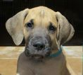 Great Dane Puppy For Sale in PENROSE, CO, USA