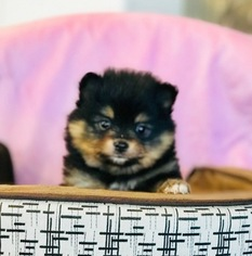 Pomeranian Puppy For Sale in KENNESAW, GA, USA