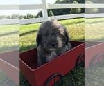 Small #2 Neapolitan Mastiff-Poodle (Toy) Mix