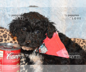 Aussiedoodle-Poodle (Toy) Mix Puppy for sale in SANGER, TX, USA