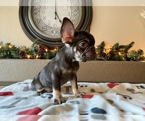 French Bulldog Puppy for sale in STKN, CA, USA