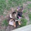 German Shepherd Dog Puppy For Sale in HOUSTON, TX
