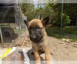 Small #10 Dutch Shepherd Dog
