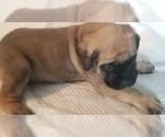 Small #21 Mastiff