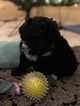 Puppy 8 Portuguese Water Dog