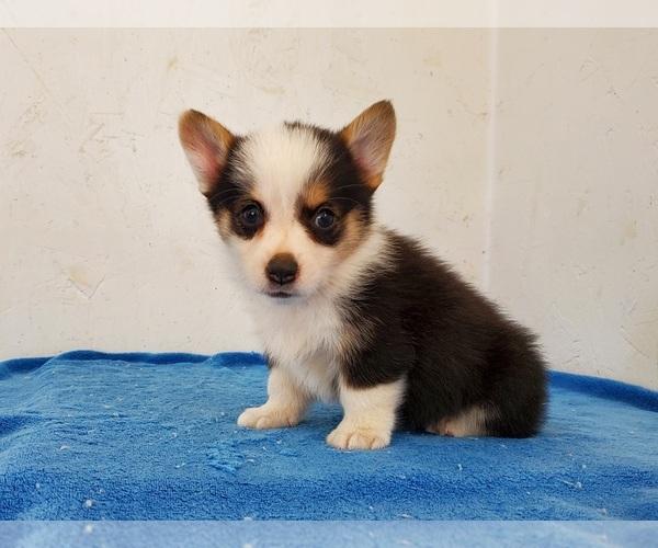 View Ad: Pembroke Welsh Corgi Puppy for Sale near In Finland