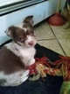 Chihuahua Puppy For Sale in SCRANTON, PA, USA