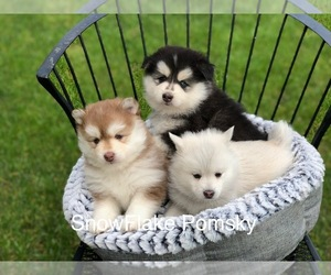 Pomsky Puppy for Sale in KEIZER, Oregon USA