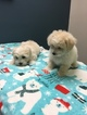Bolognese-Maltese Mix Puppy For Sale in MONITOR, OR, USA