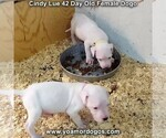 Small Photo #76 Dogo Argentino Puppy For Sale in PINEVILLE, MO, USA