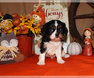 Cavalier King Charles Spaniel Puppy for sale in CHANUTE, KS, USA