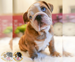 Small Bulldog