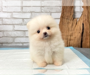 Pomeranian Puppy for sale in SAN DIEGO, CA, USA