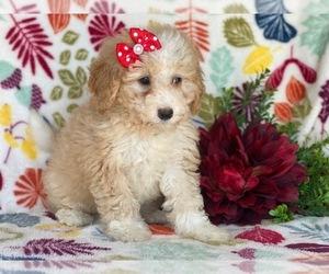 Bernedoodle-Poodle (Miniature) Mix Puppy for sale in CEDAR LANE, PA, USA