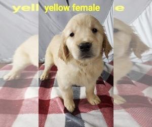 Golden Retriever Puppy for sale in HAMPTON, VA, USA
