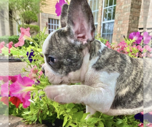 French Bulldog Puppy for sale in ROCKWALL, TX, USA