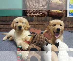 Golden Retriever Puppy for Sale in GRAND RAPIDS, Michigan USA