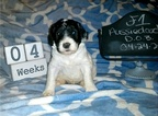 Aussiedoodle Puppy For Sale in FLINT, TX, USA