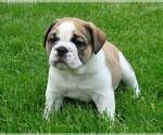 Puppy 5 Beabull