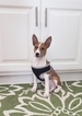 Basenji Puppy For Sale in BROOKLYN PARK, MN, USA
