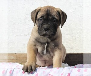 Bullmastiff Puppy for sale in GREENBANK, PA, USA