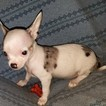 Chihuahua Puppy For Sale in DUNCANVILLE, TX, USA