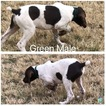 German Shorthaired Pointer Puppy For Sale in BANGS, TX, USA
