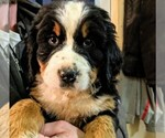 Small #13 Bernese Mountain Dog