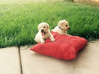 Labrador Retriever Puppy For Sale in STRATHMORE, CA