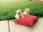 Labrador Retriever Puppy For Sale in STRATHMORE, CA, USA