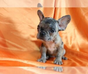 French Bulldog Dog for Adoption in CHAPPAQUA, New York USA