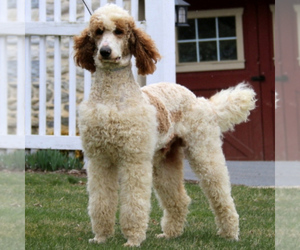Father of the Goldendoodle-Poodle (Standard) Mix puppies born on 01/20/2021