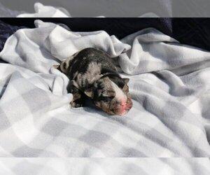 English Bulldog Puppy for sale in CODORA, CA, USA