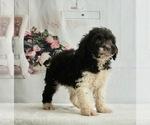 Puppy 5 Schnoodle (Miniature)