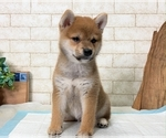 Small Photo #2 Shiba Inu Puppy For Sale in SEATTLE, WA, USA
