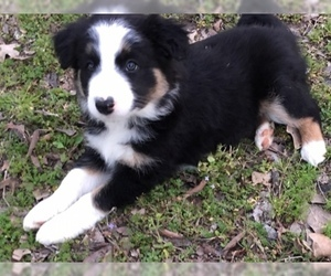 Puppies for Sale near Lone Oak, Texas, USA, Page 1 (10 per page