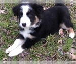 Female Border Collie