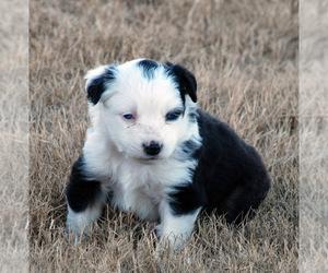 Miniature Australian Shepherd Puppy for Sale in WITTMANN, Arizona USA