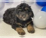 Puppy 2 Aussiedoodle Miniature