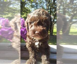 Goldendoodle Puppy for sale in BOWERSTOWN, IN, USA